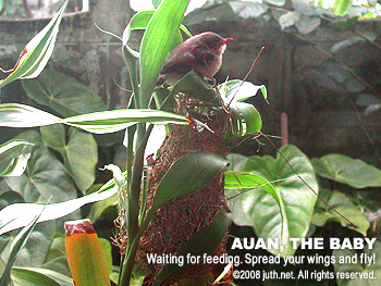 Auan, The Tailorbird